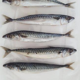 makreel small